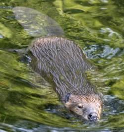 Beaver Muskrat And Nutria Identification Mammals The