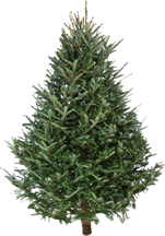 Undecorated holiday tree