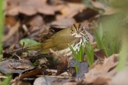 ovenbird photo (c) Owen Schmidt
