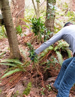 photo of pulling spurge laurel