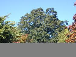 Native Heritage Tree: Oregon white oak