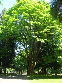 Acer Macropyllum The Bigleaf Maple Urban Forestry Blog The City