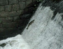 photo of jumping salmon