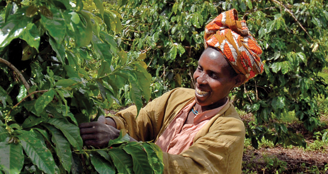 Woman harvesting coffee berries