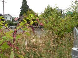 pokeweed large plants