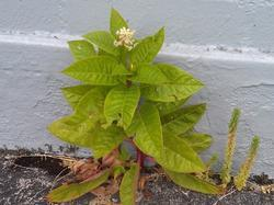 small pokeweed plant