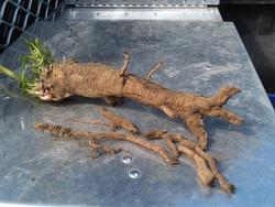 pokeweed root