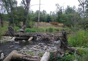 beaver dam at project site