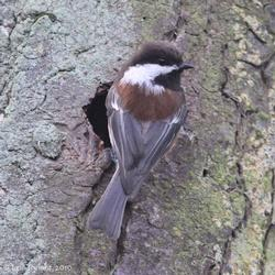 chickadee on tree