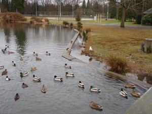ducks in old pond