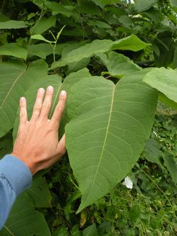 knotweed leaf compared to hand