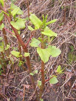 distinctive stems of knotweed