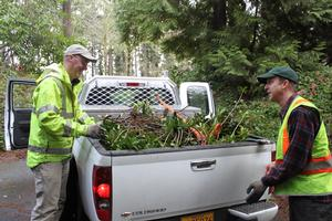 city staff removing spurge laurel