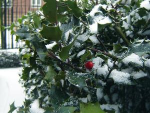 holly plant with snow