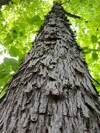 Carya Ovata Heritage Trees By Species The City Of