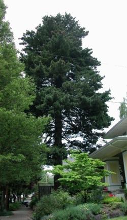 Pinus Monticola Heritage Trees By Species The City Of
