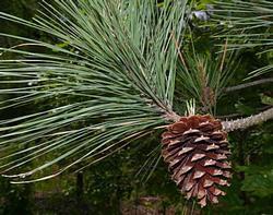 Pinus taeda | Heritage Trees by Species