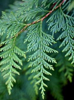What Is Cfm >> Thuja plicata | Heritage Trees by Species | The City of Portland, Oregon