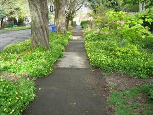 lesser celandine patch in city