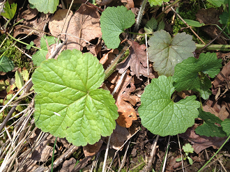 fringecup and garlic mustard