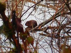 young beaver in Johnson Creek