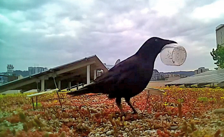 a crow tossing a cup