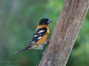 blackheaded grosbeak bird on tree