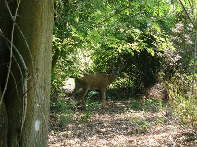 deer in natural area
