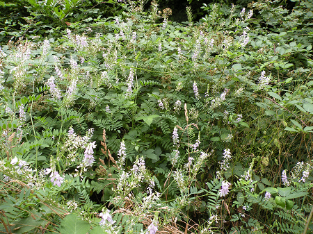goatsrue in bloom