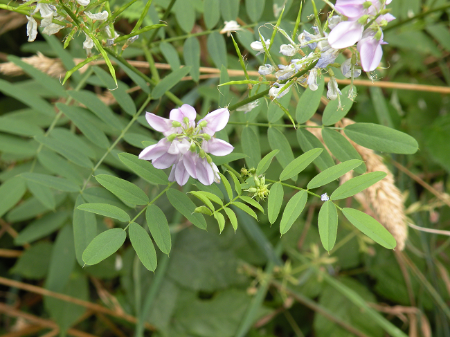 goatsrue leaves and blooms