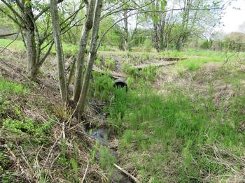 culvert and invasive plants choking the stream