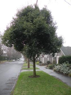 trees street tree planting species list