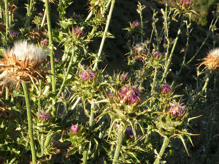 blessed milk thistle
