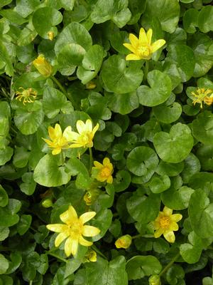 lesser celandine yellow flowers