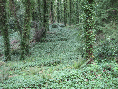 Photo of ivy covering hillside and trees