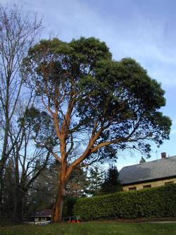 Madrone in 2003