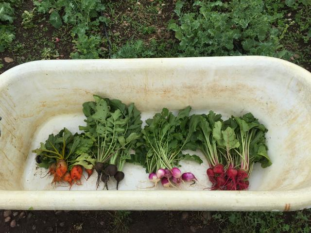 root vegetables in bathtub