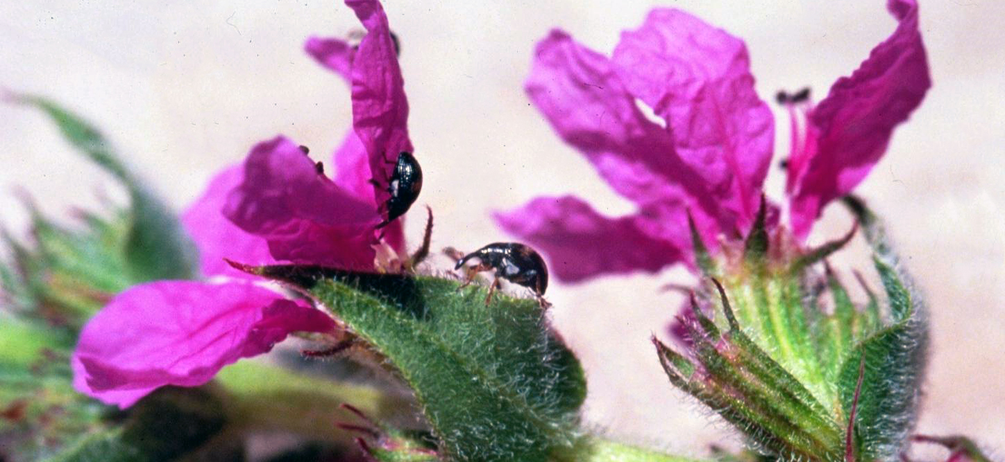 Purple loosestrife flower and beetle