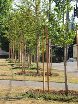 newly planted street trees