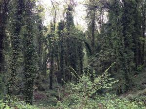 ivy infestation in Forest Park