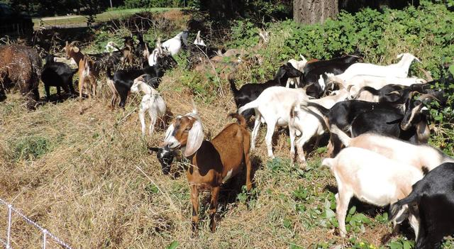 "Goat ""weed eaters"""