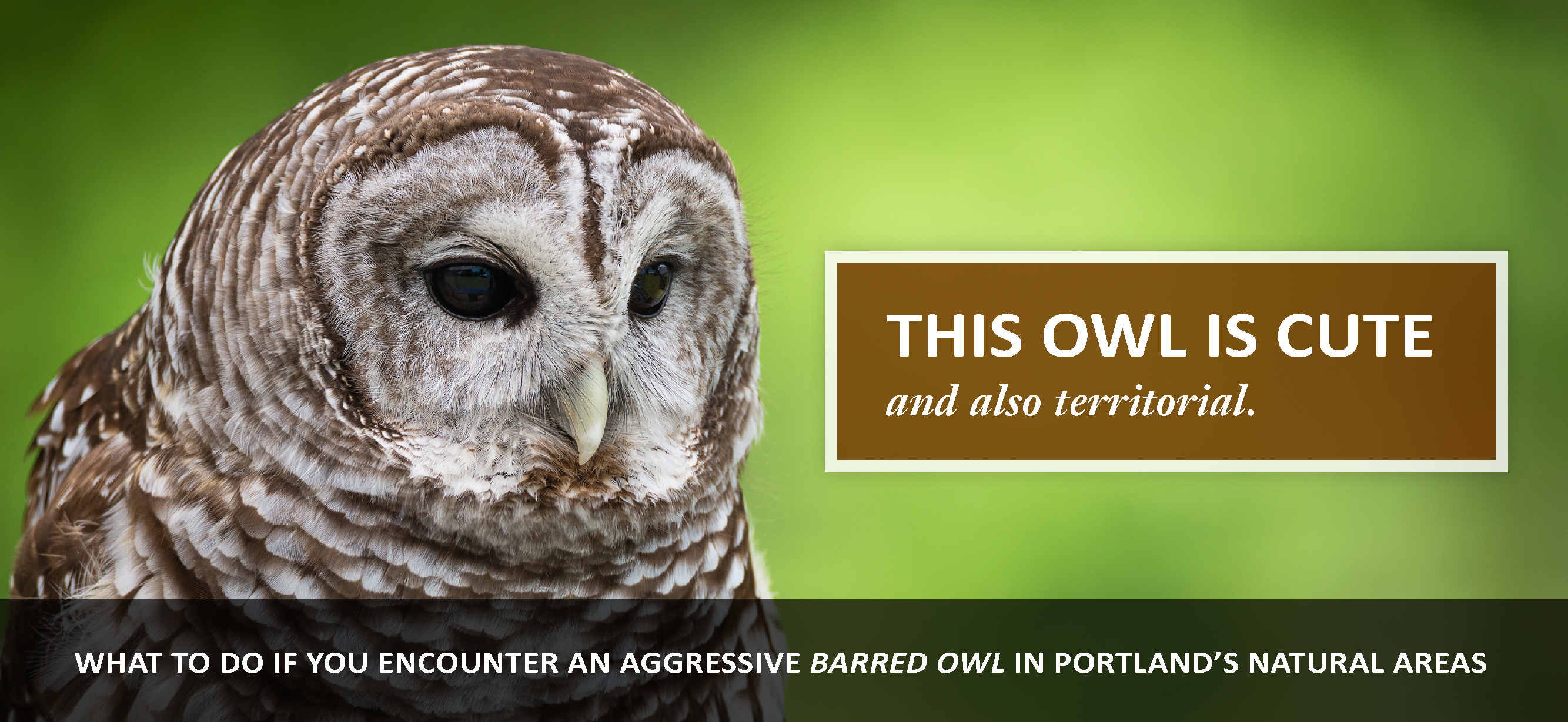 Barred Owls in Portland's Natural Areas | Natural Areas