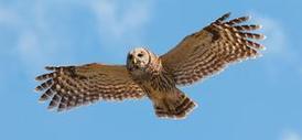 Animal photos: The week in cute, Feb. 6   OregonLive.com  Owls Portland Oregon