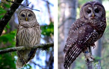 Barred Owl (left) vs. Spotted Owl (right)