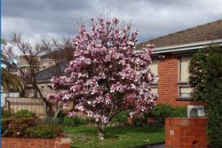 blooming tree in yard