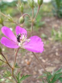 pollinating insect on native plant
