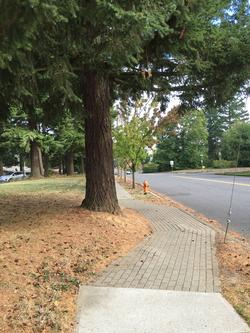 re-routed sidewalk for tree retention