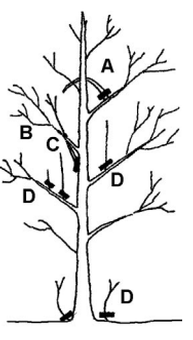 In the image to the left, the letters indicate the following kinds of cuts for a tree 3-4 years after planting. A: Remove branches that are heading back into the tree. B: Remove branches that are rubbing. C: Eliminate branches with narrow angles. D: Remove suckers from around the base of the trees whenever they emerge.  Image courtesy of Urban Forestry.