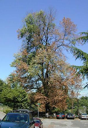 photo of flagging Elm