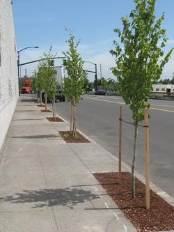 Newly planted street trees in concrete cutouts